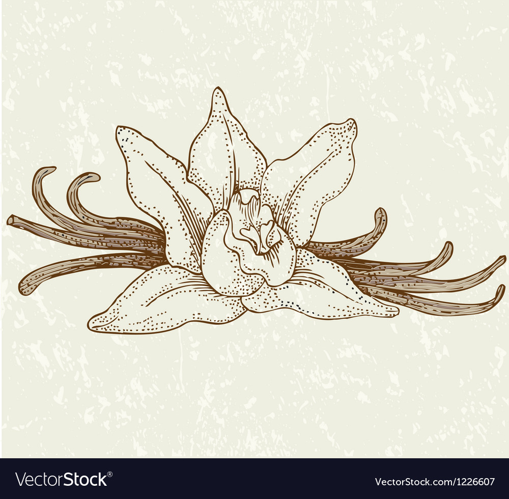 Vaniila flowers vector | Price: 1 Credit (USD $1)