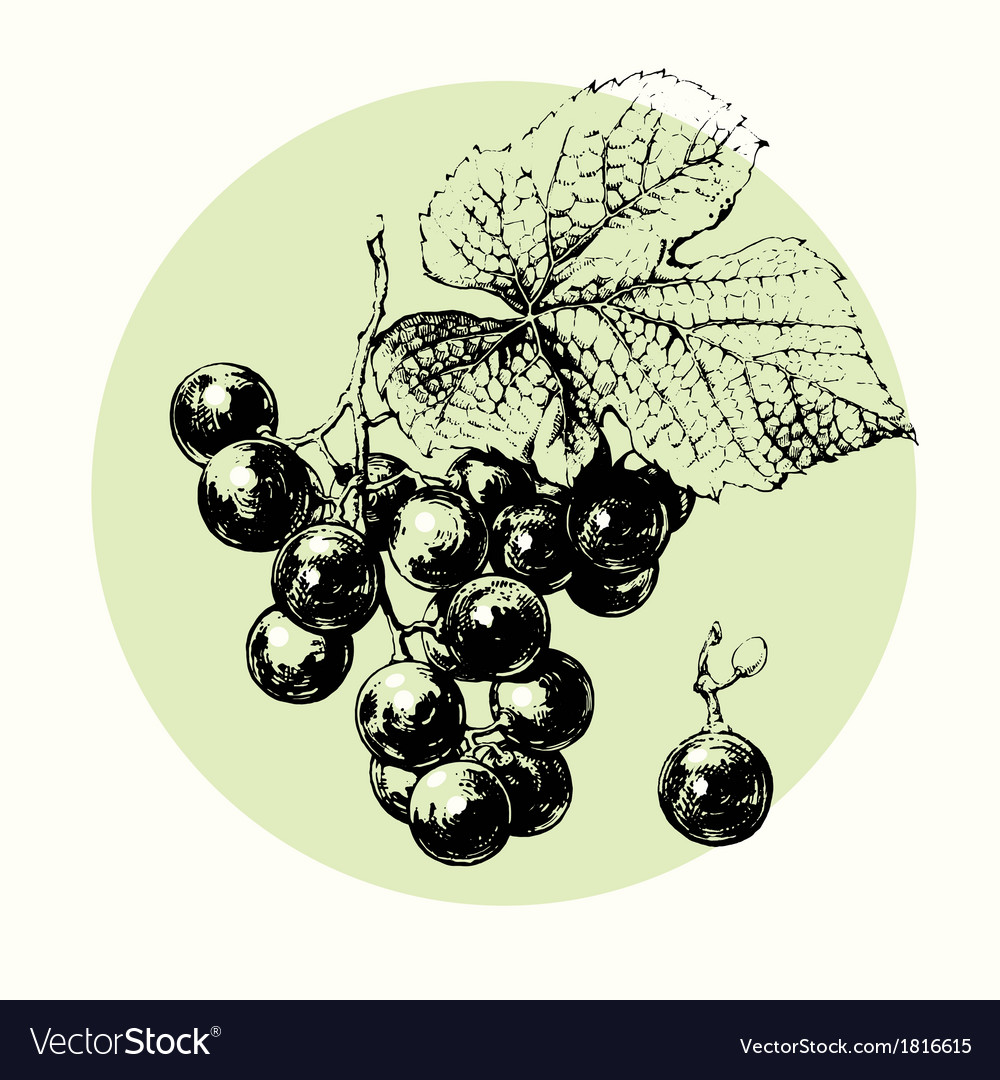 Vine of grapes vector | Price: 1 Credit (USD $1)