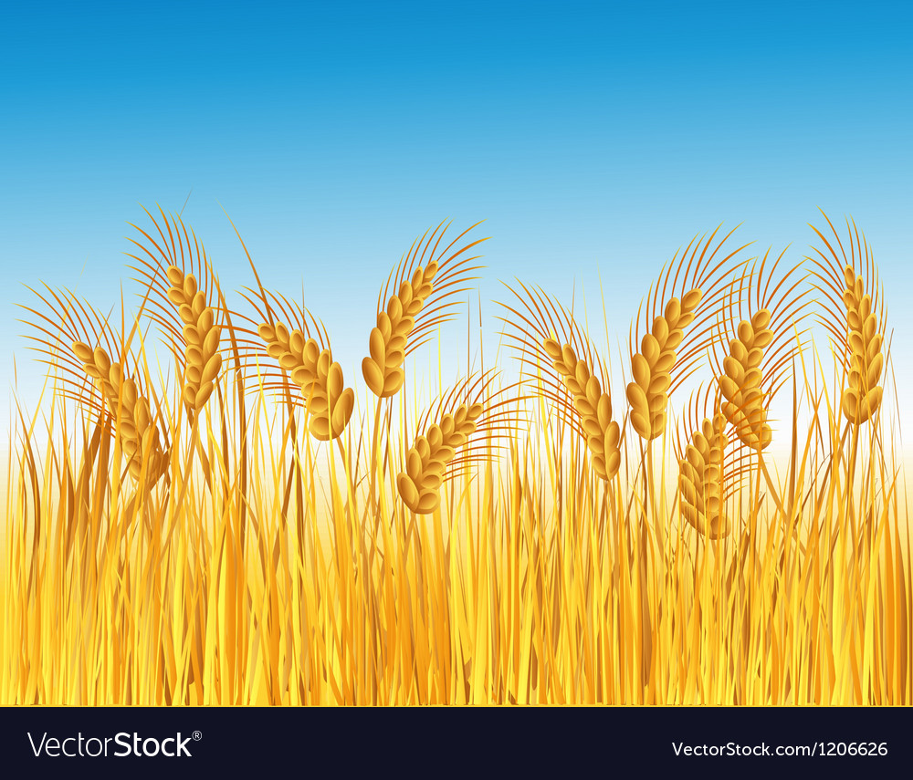 Cereal field vector | Price: 1 Credit (USD $1)