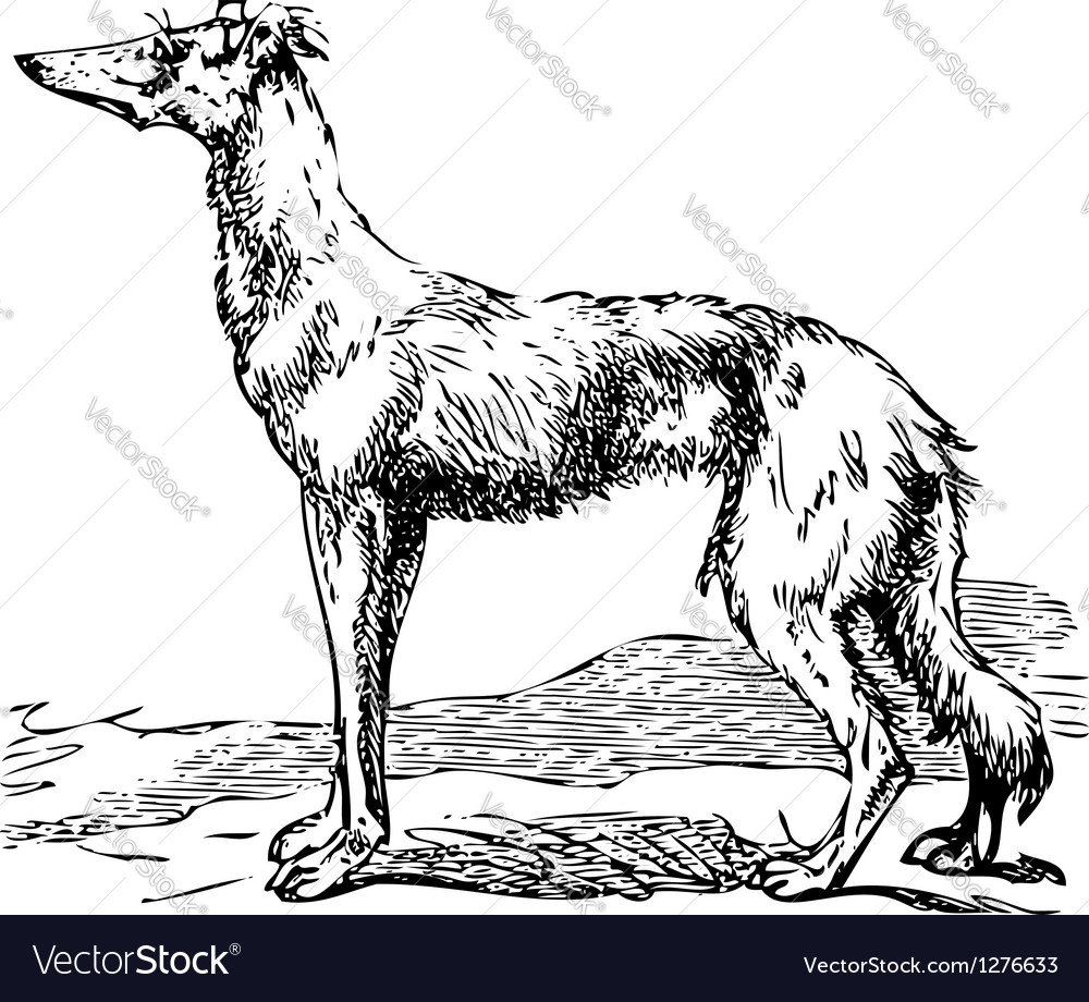 Borzoi dog engraving vector | Price: 1 Credit (USD $1)