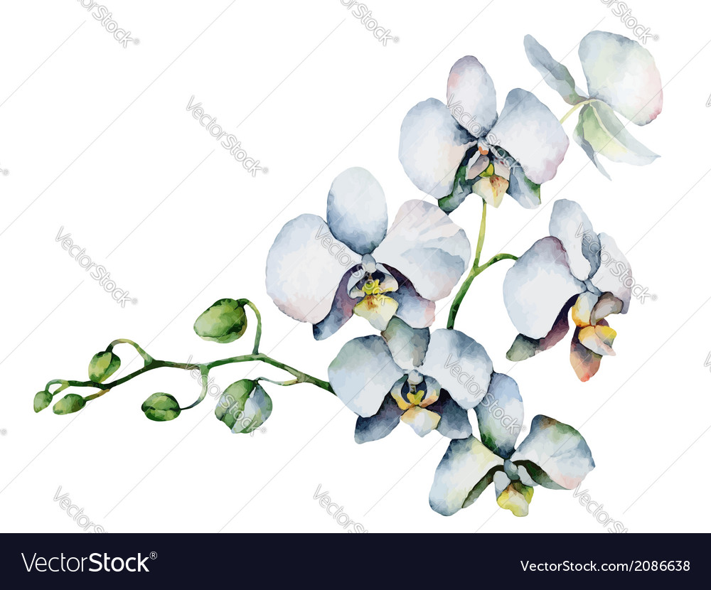 White orchids vector   Price: 1 Credit (USD $1)