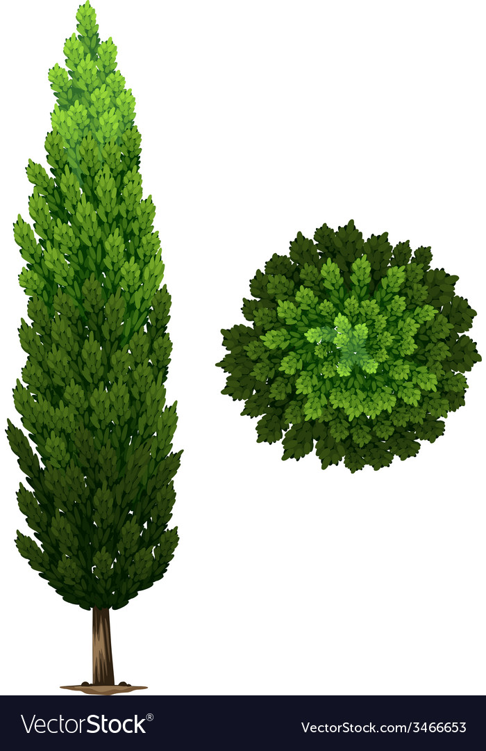 A swedish columnar plant vector | Price: 1 Credit (USD $1)