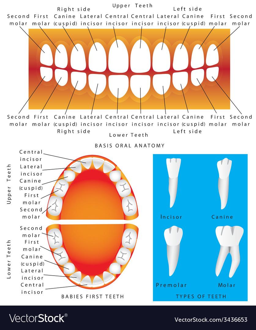 Anatomy of children teeth vector | Price: 1 Credit (USD $1)