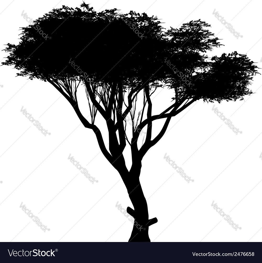 Acacia vector | Price: 1 Credit (USD $1)