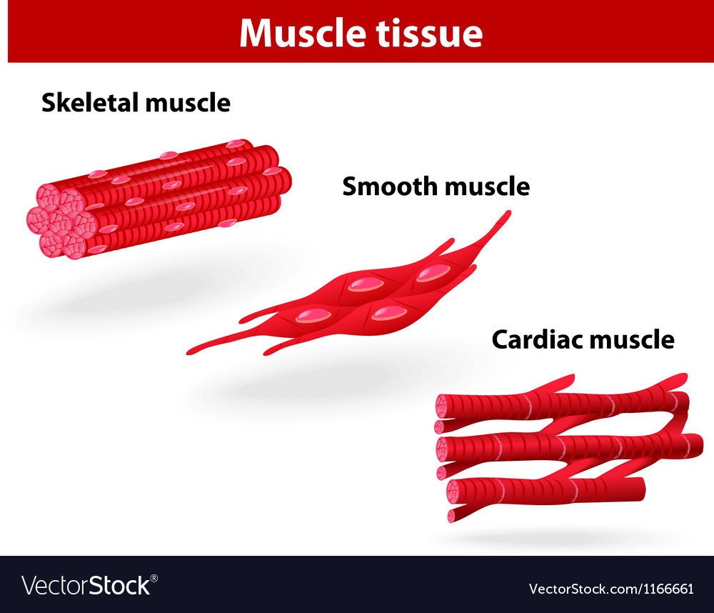 Types of muscle tissue vector | Price: 1 Credit (USD $1)