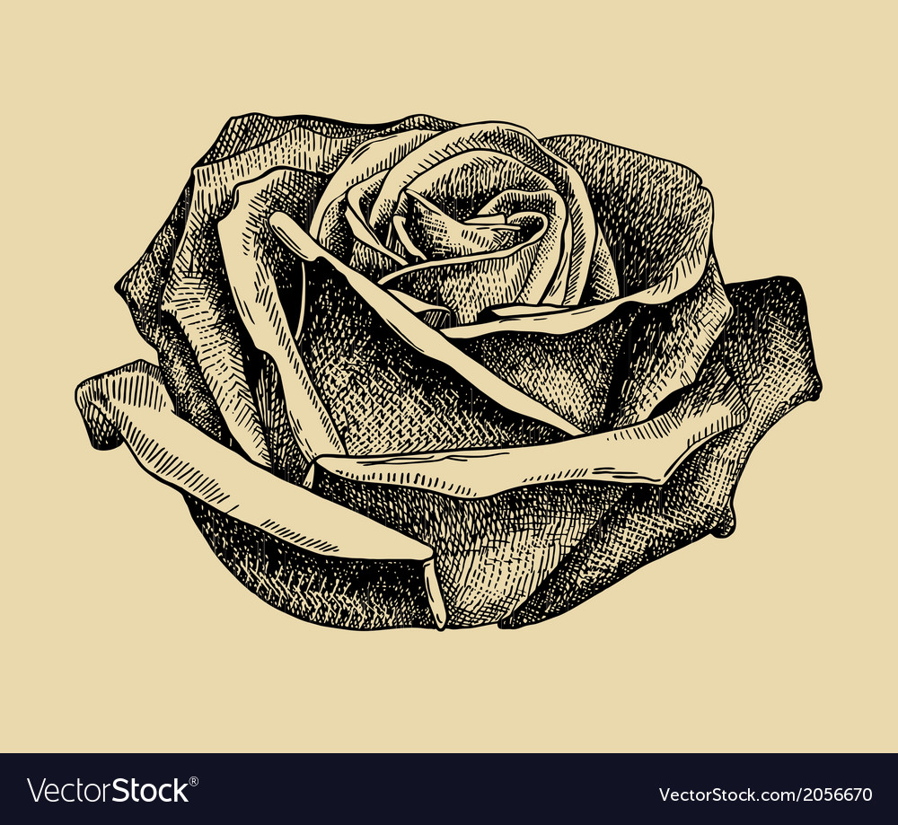 Hand draw sketch rose vector | Price: 1 Credit (USD $1)
