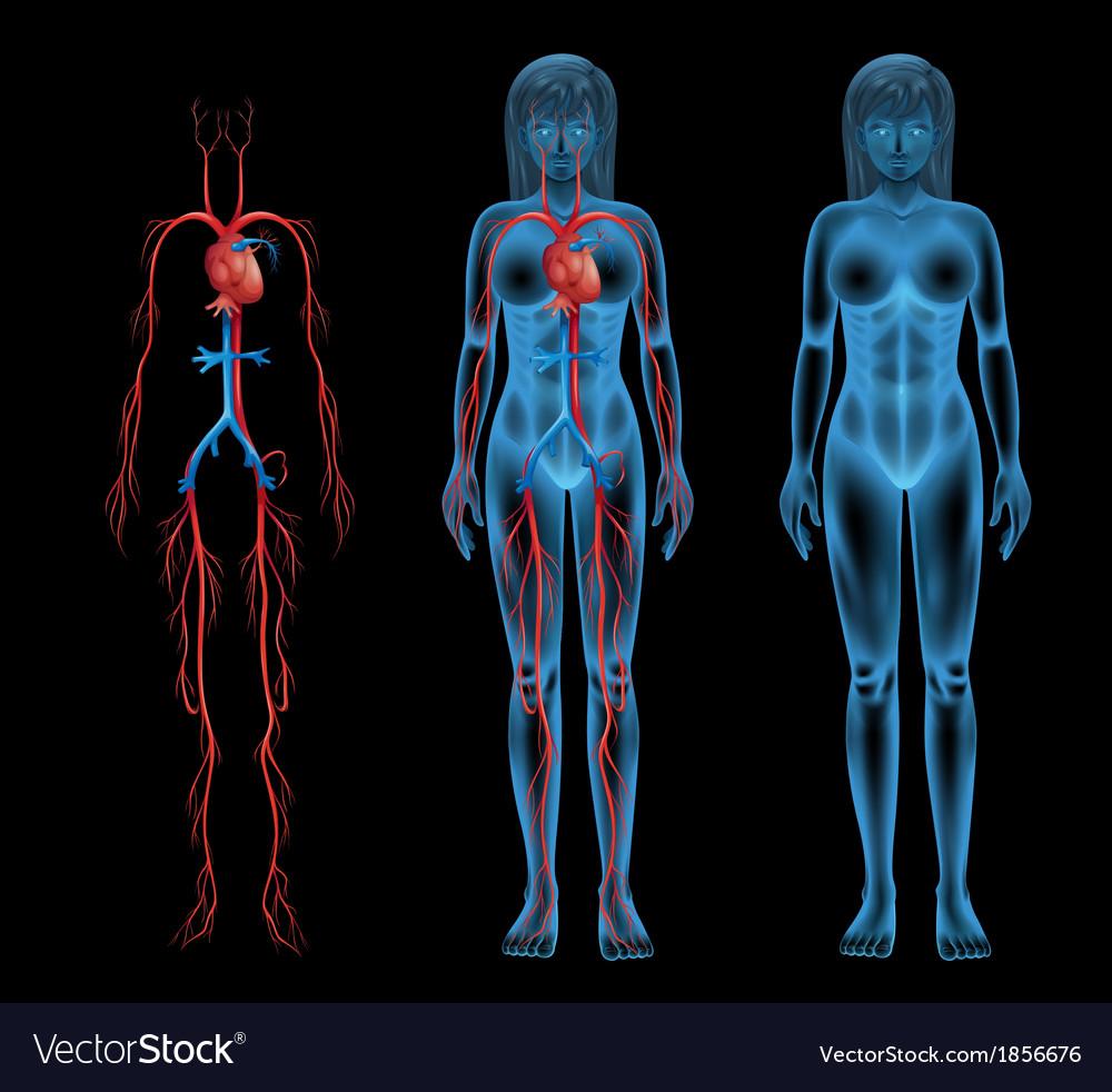 Female circulatory system vector