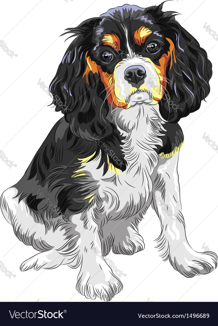 Dog cavalier king charles spaniel breed vector | Price: 1 Credit (USD $1)