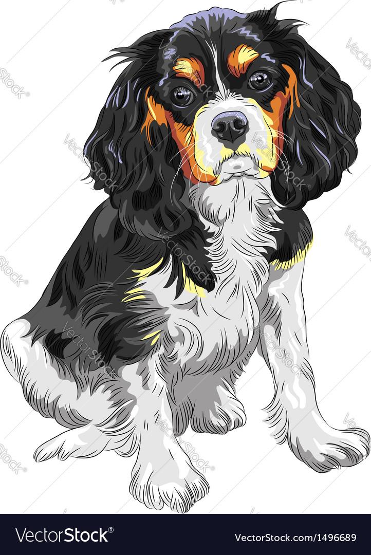 Dog cavalier king charles spaniel breed vector | Price: 1 Credit (USD $1)