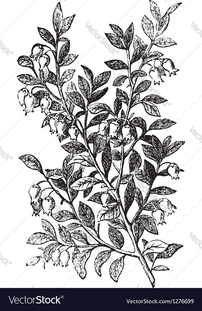 Bilberry whortleberry engraving vector | Price: 1 Credit (USD $1)