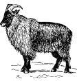 Goat hemitragus vector