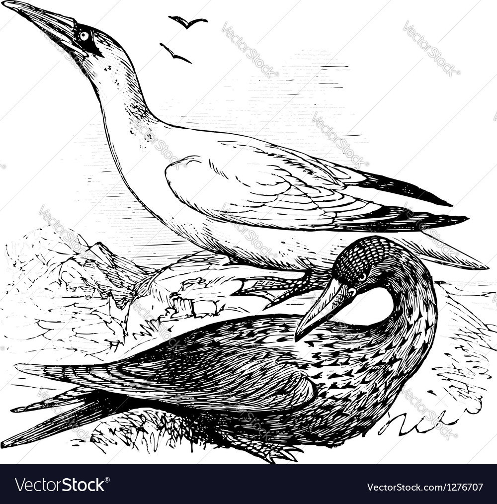 Northern gannets engraving vector | Price: 1 Credit (USD $1)