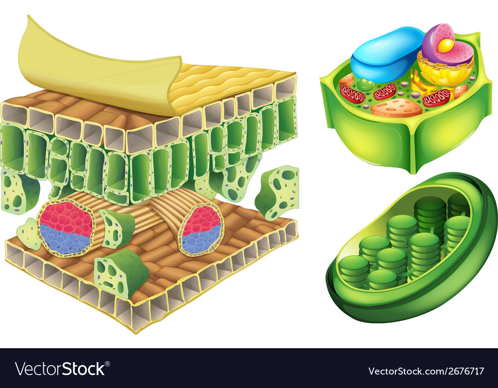 Plant cells vector | Price: 1 Credit (USD $1)