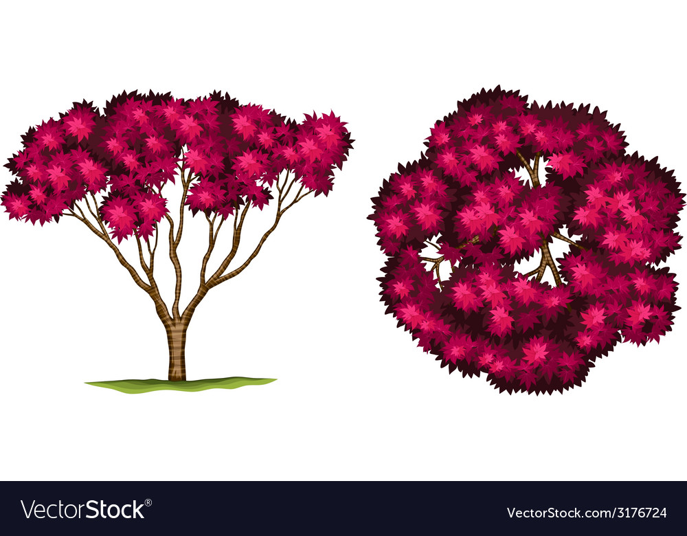 A bloodgood japanese maple tree vector