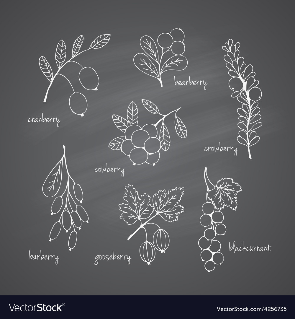 Set of garden and wild chalk hand-drawn berries vector | Price: 1 Credit (USD $1)