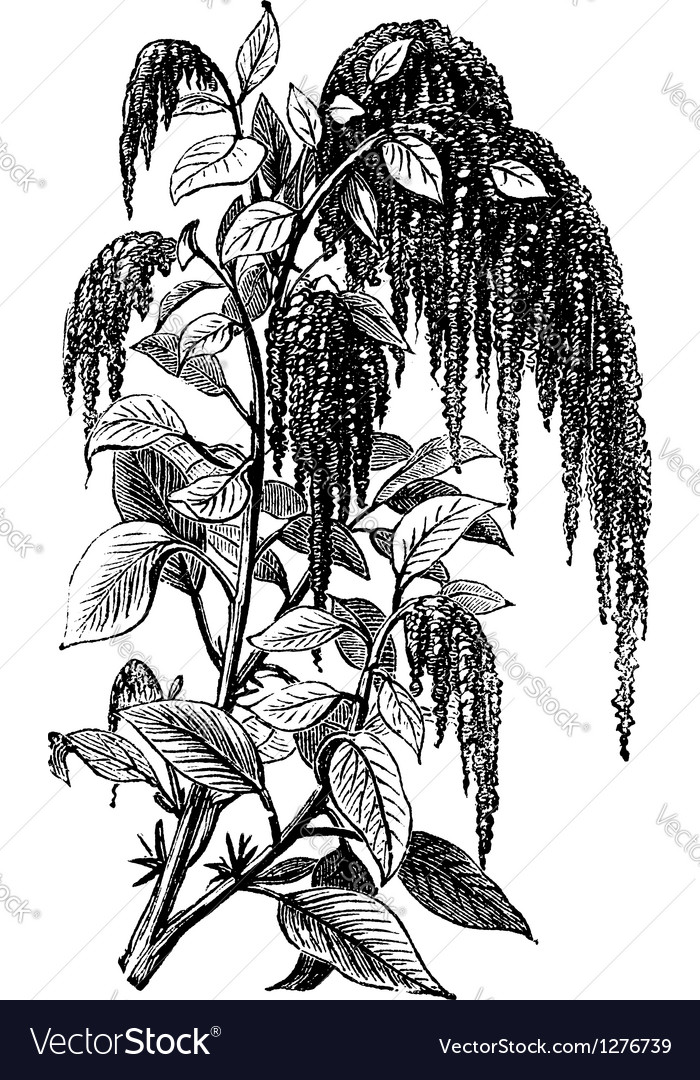Foxtail amaranth vintage engraving vector | Price: 1 Credit (USD $1)