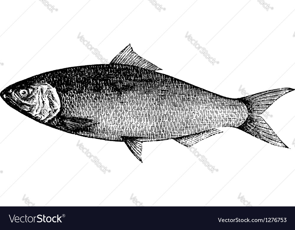 Atlantic shad engraving vector | Price: 1 Credit (USD $1)