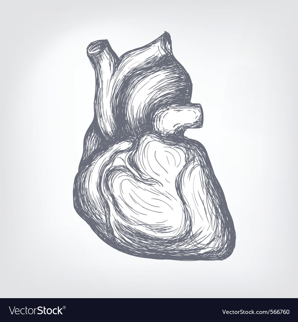 Human heart sketch vector | Price: 1 Credit (USD $1)