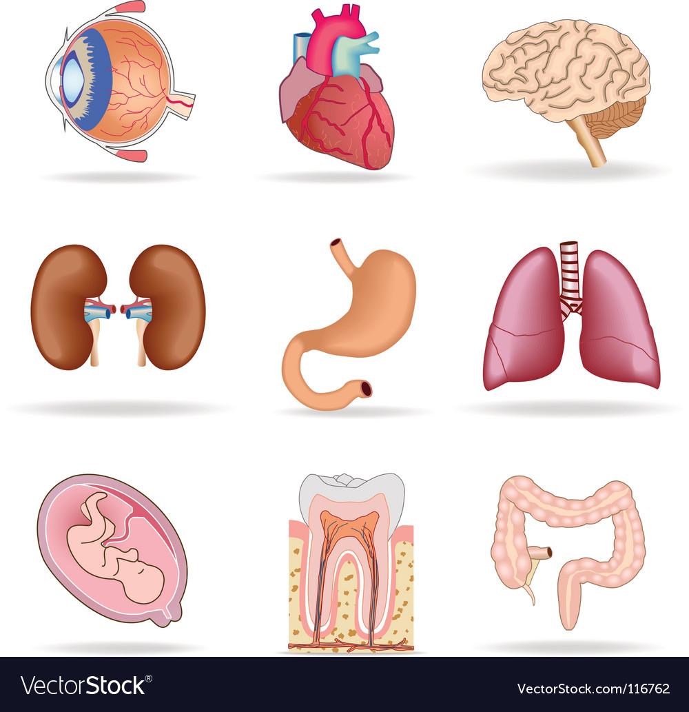 Human organs vector | Price: 1 Credit (USD $1)