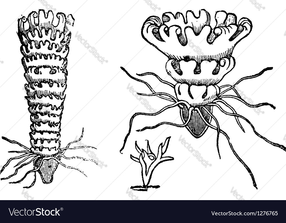 Jellyfish vintage engraving vector   Price: 1 Credit (USD $1)