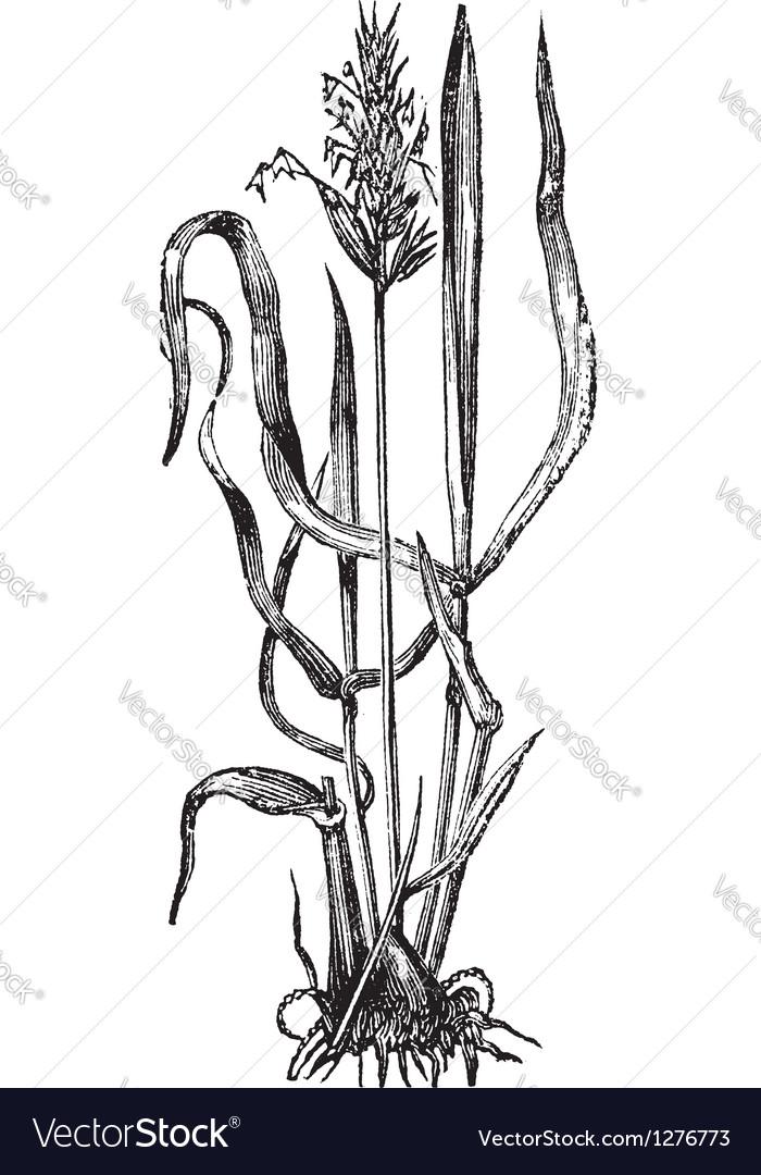 Sweet vernal grass engraving vector | Price: 1 Credit (USD $1)