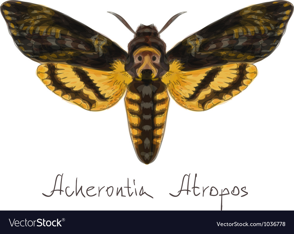 Acherontia atropos vector | Price: 1 Credit (USD $1)