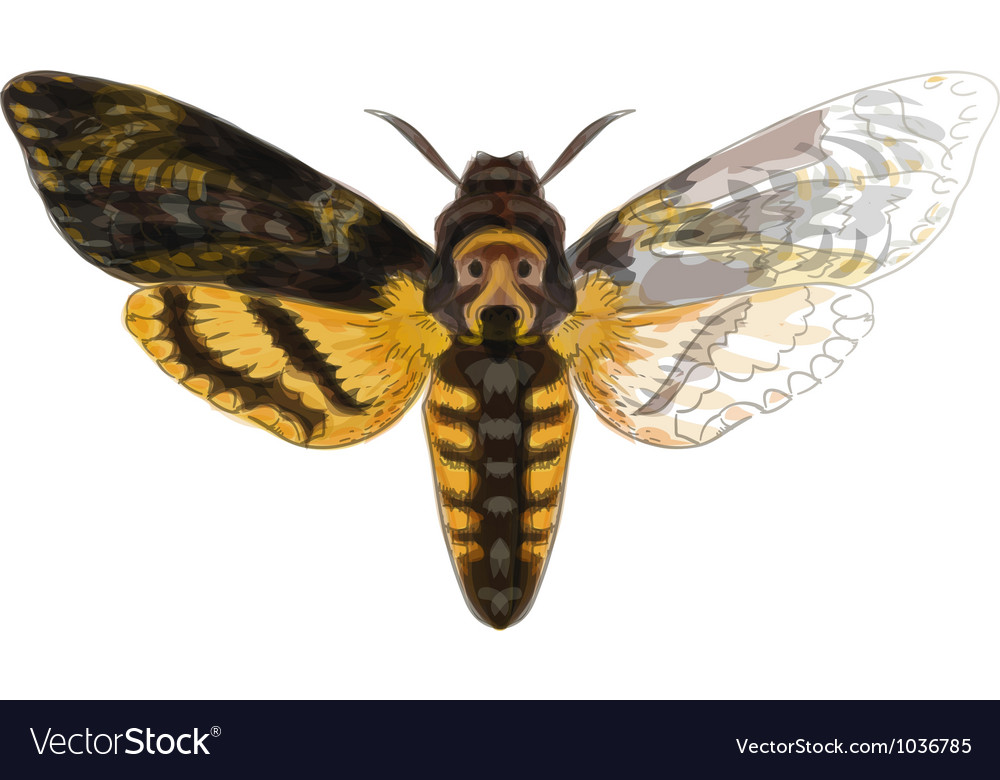 Acherontia atropos paint vector | Price: 1 Credit (USD $1)