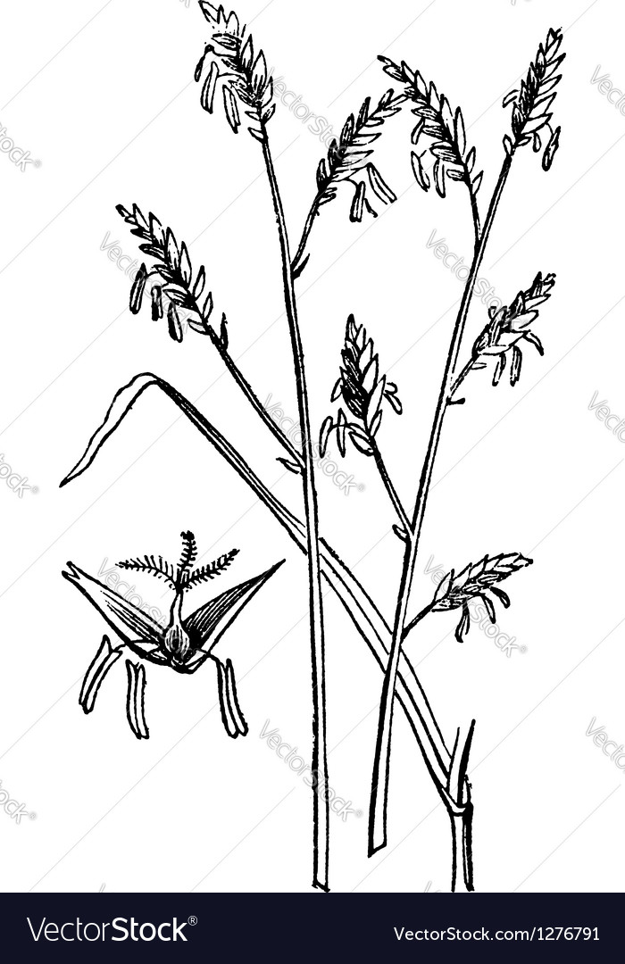 Canes plant engraving vector | Price: 1 Credit (USD $1)
