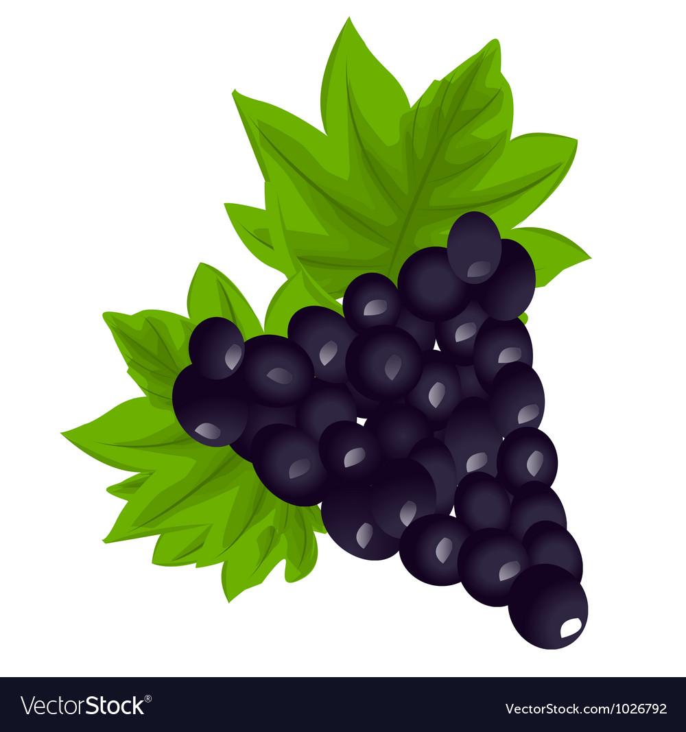 Dark grapes vector