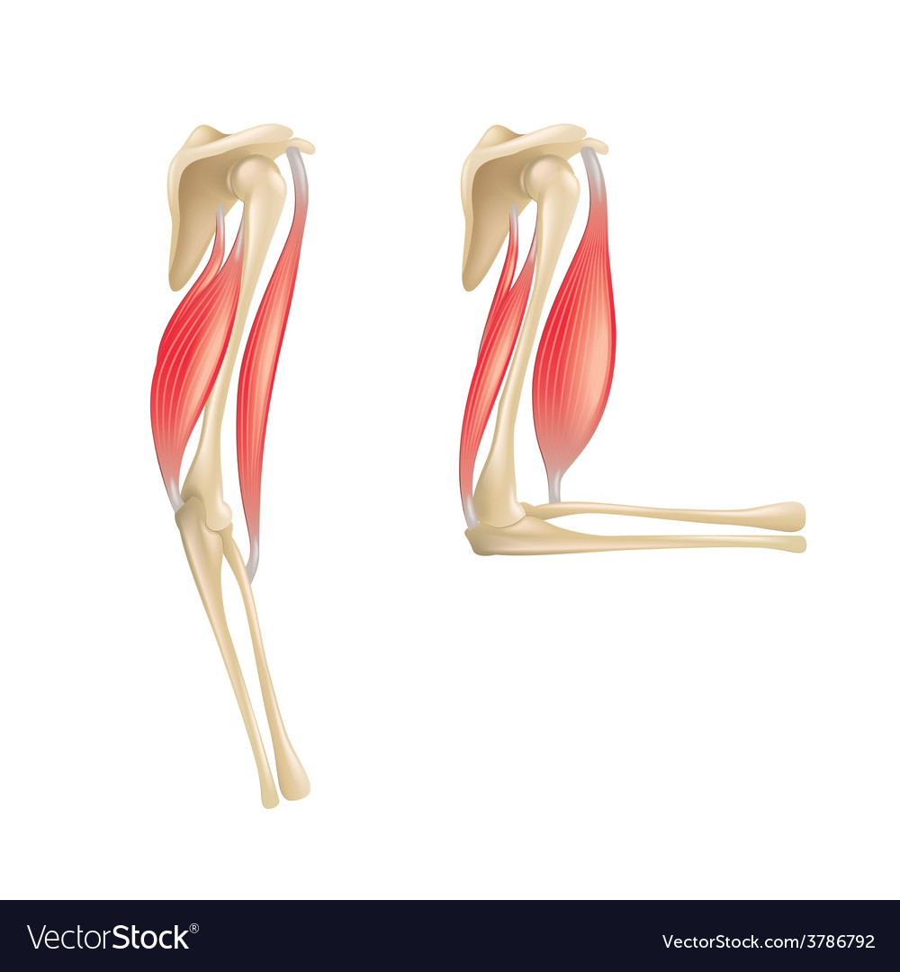 Elbow joint isolated vector | Price: 3 Credit (USD $3)