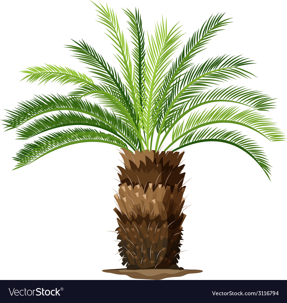 A topview of a sago palm plant vector | Price: 1 Credit (USD $1)