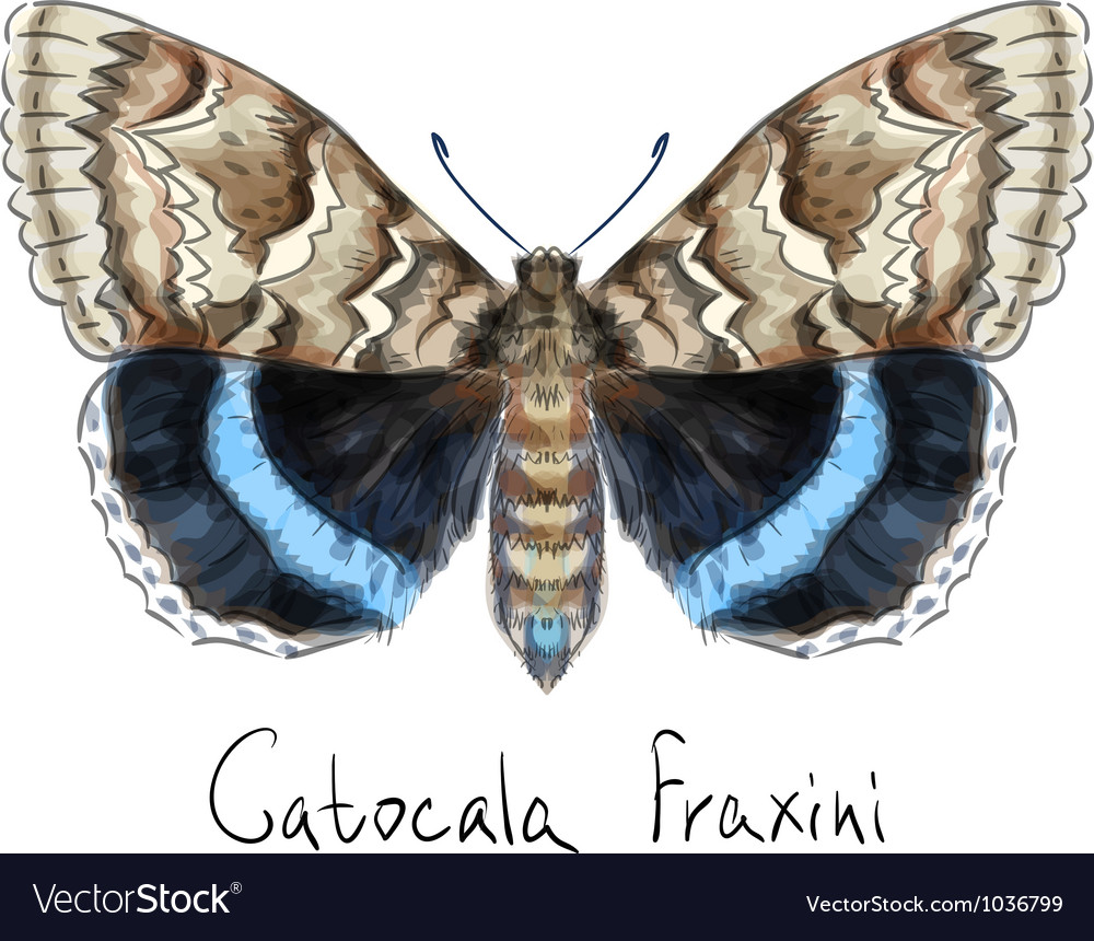 Butterfly catocala fraxini watercolor imitation vector | Price: 1 Credit (USD $1)