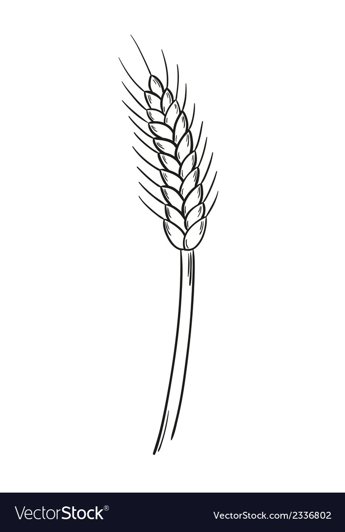 Sketch of the barley vector | Price: 1 Credit (USD $1)