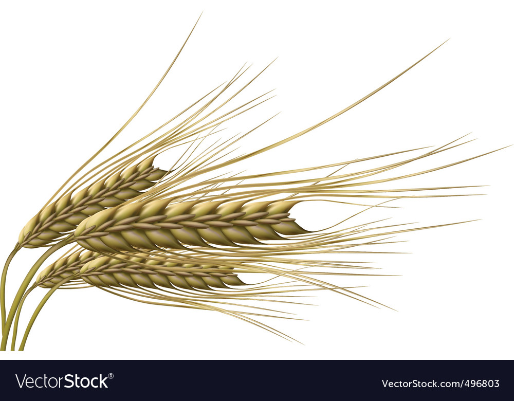 Wheat grain vector | Price: 1 Credit (USD $1)