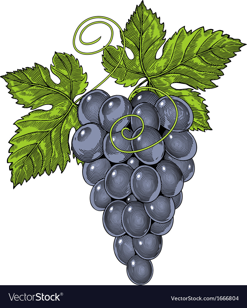 Red wine grapes in vintage engraved style vector | Price: 1 Credit (USD $1)