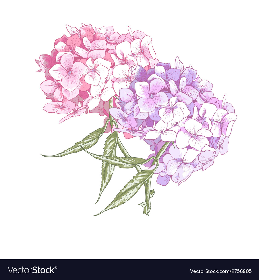 Hydrangea vintage botanical vector | Price: 1 Credit (USD $1)