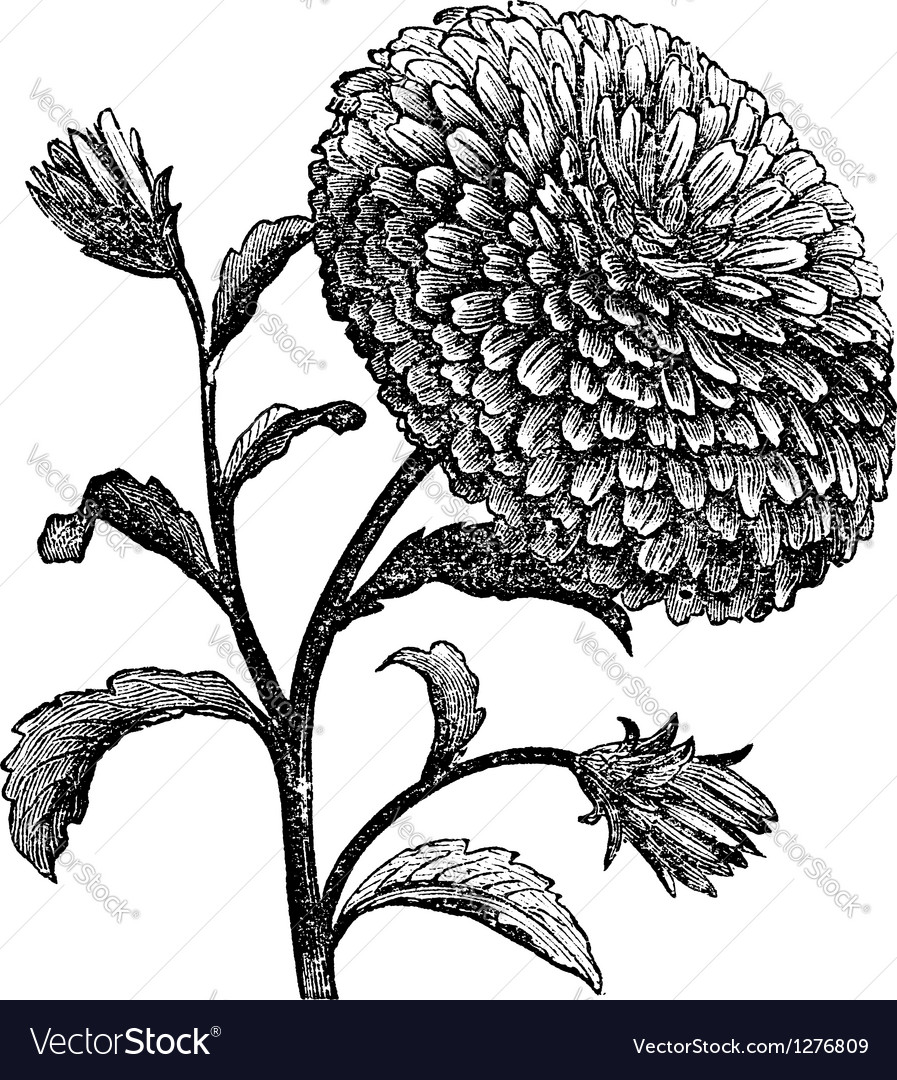Double china aster vintage engraving vector | Price: 1 Credit (USD $1)