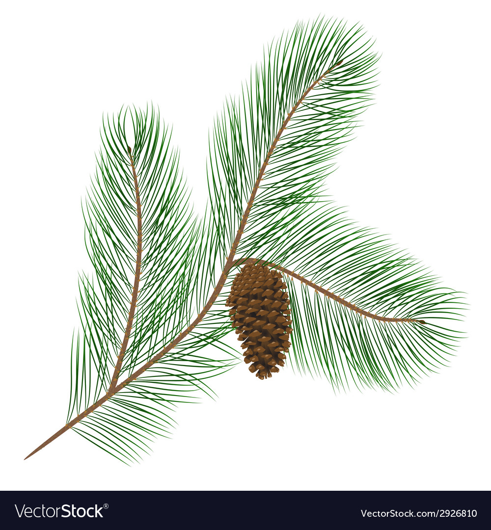 Pine cone with pine needles vector | Price: 1 Credit (USD $1)