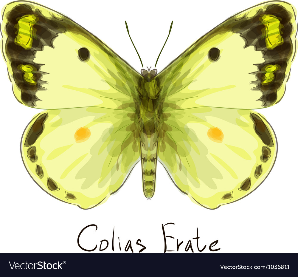 Butterfly colias erate vector | Price: 1 Credit (USD $1)