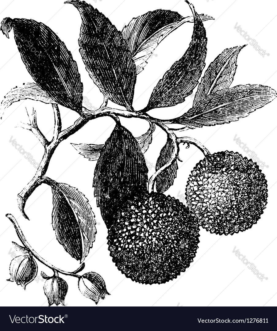 Strawberry tree vintage engraving vector | Price: 1 Credit (USD $1)