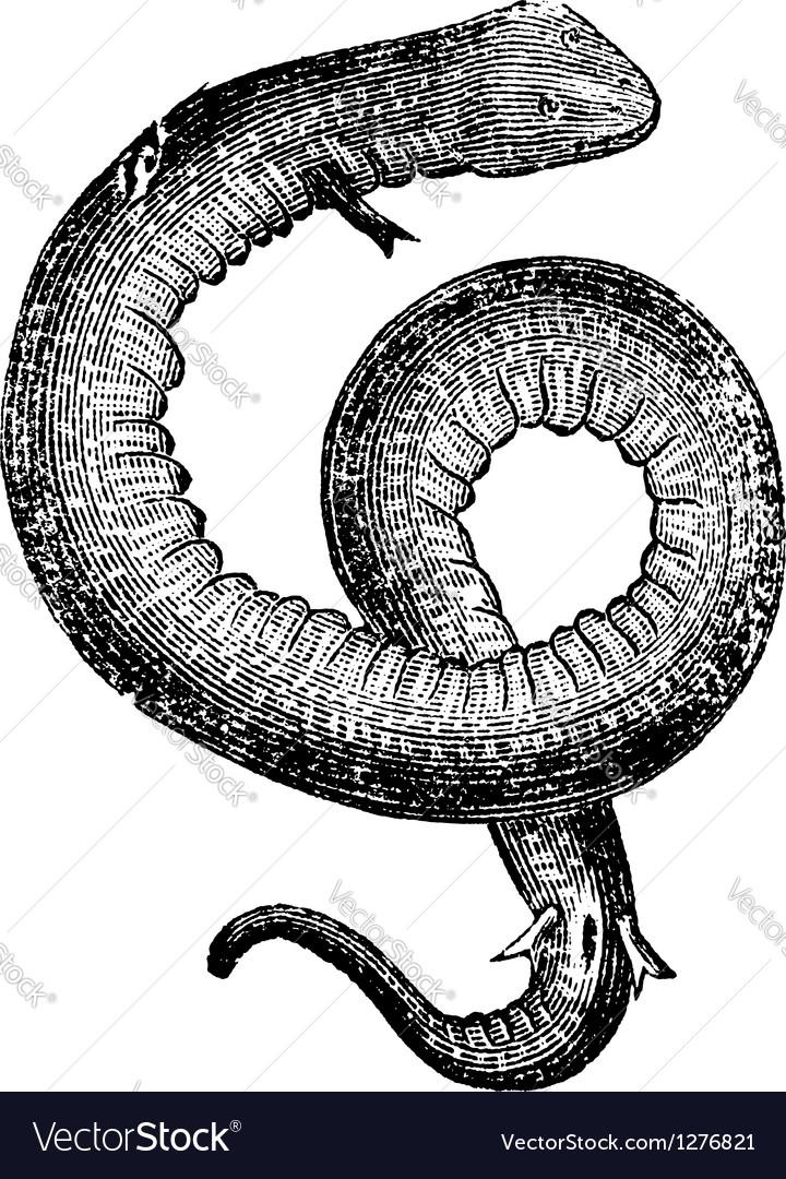 Conger eels vintage engraving vector   Price: 1 Credit (USD $1)