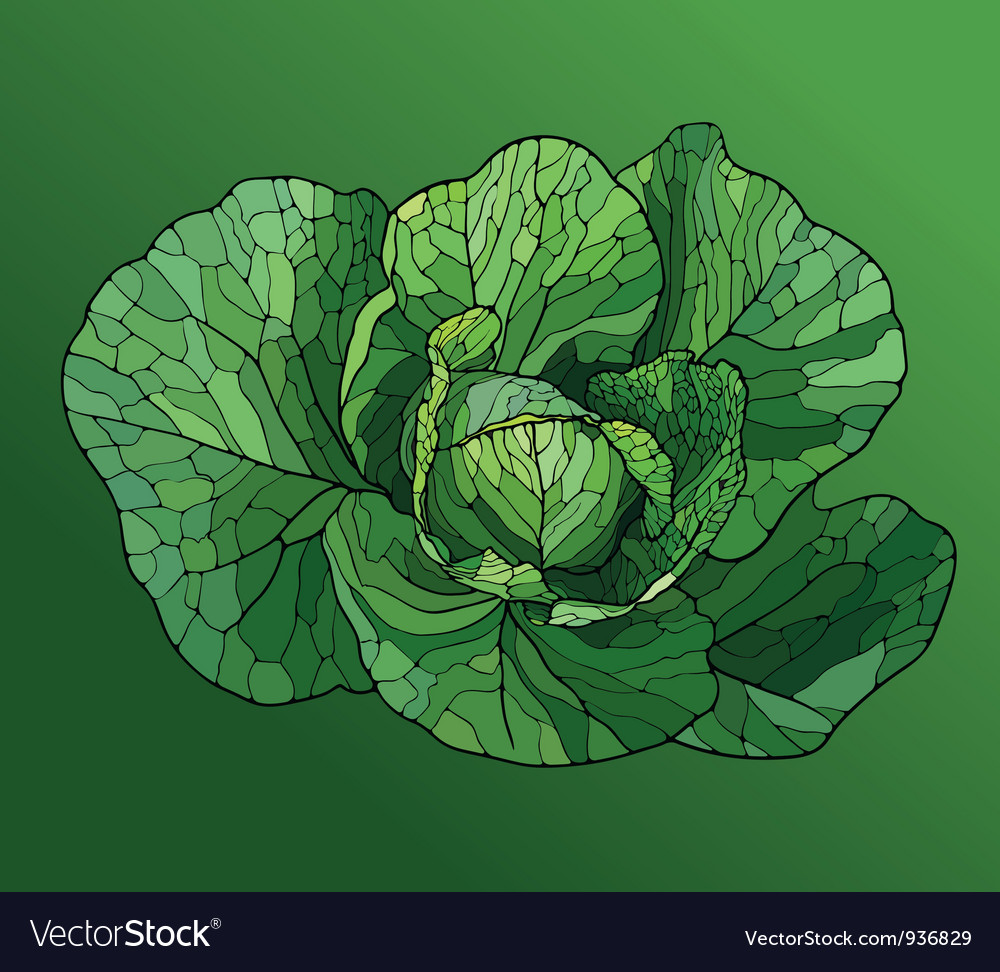 Heads of cabbage close up vector | Price: 1 Credit (USD $1)