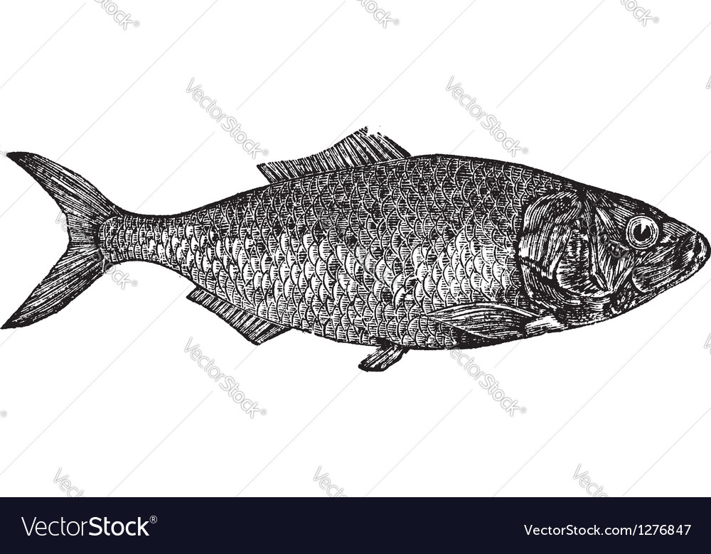 Shad river herring engraving vector | Price: 1 Credit (USD $1)