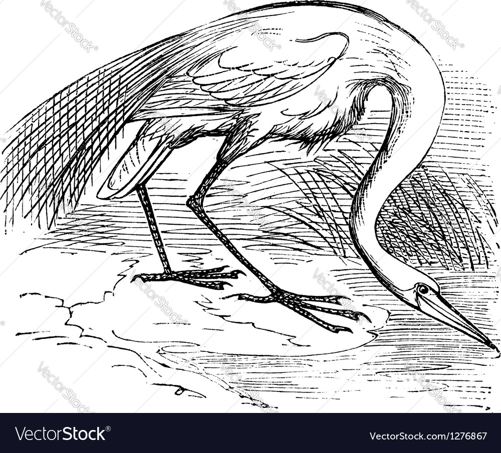 White heron vintage engraving vector | Price: 1 Credit (USD $1)