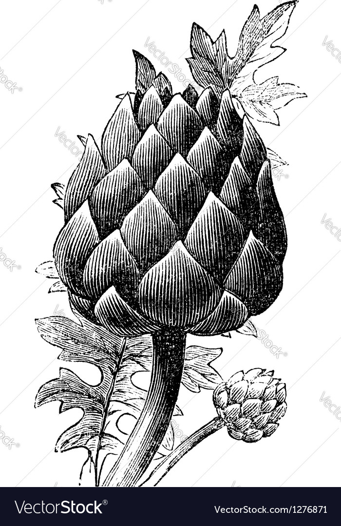 Artichoke globe artichoke engraving vector | Price: 1 Credit (USD $1)