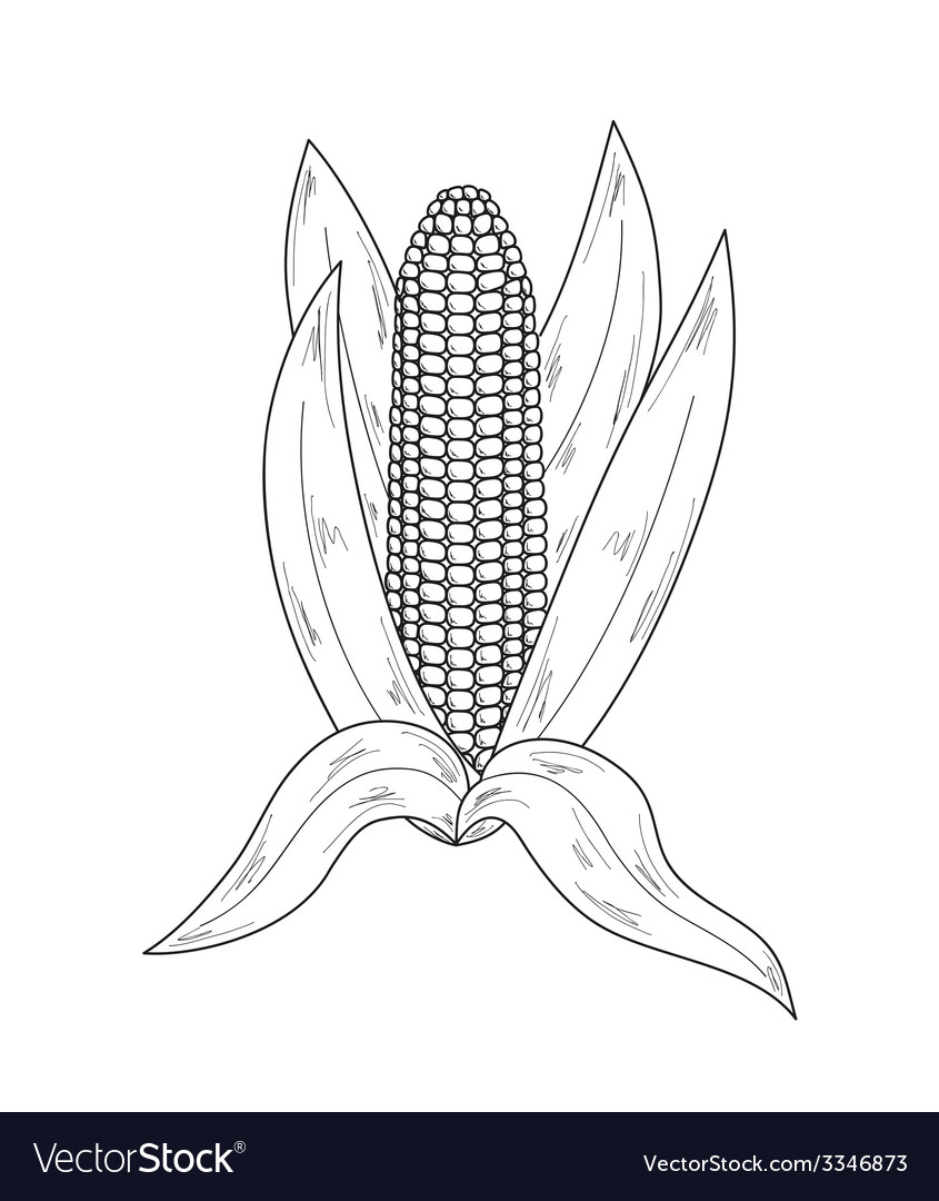Sketch corn vector | Price: 1 Credit (USD $1)