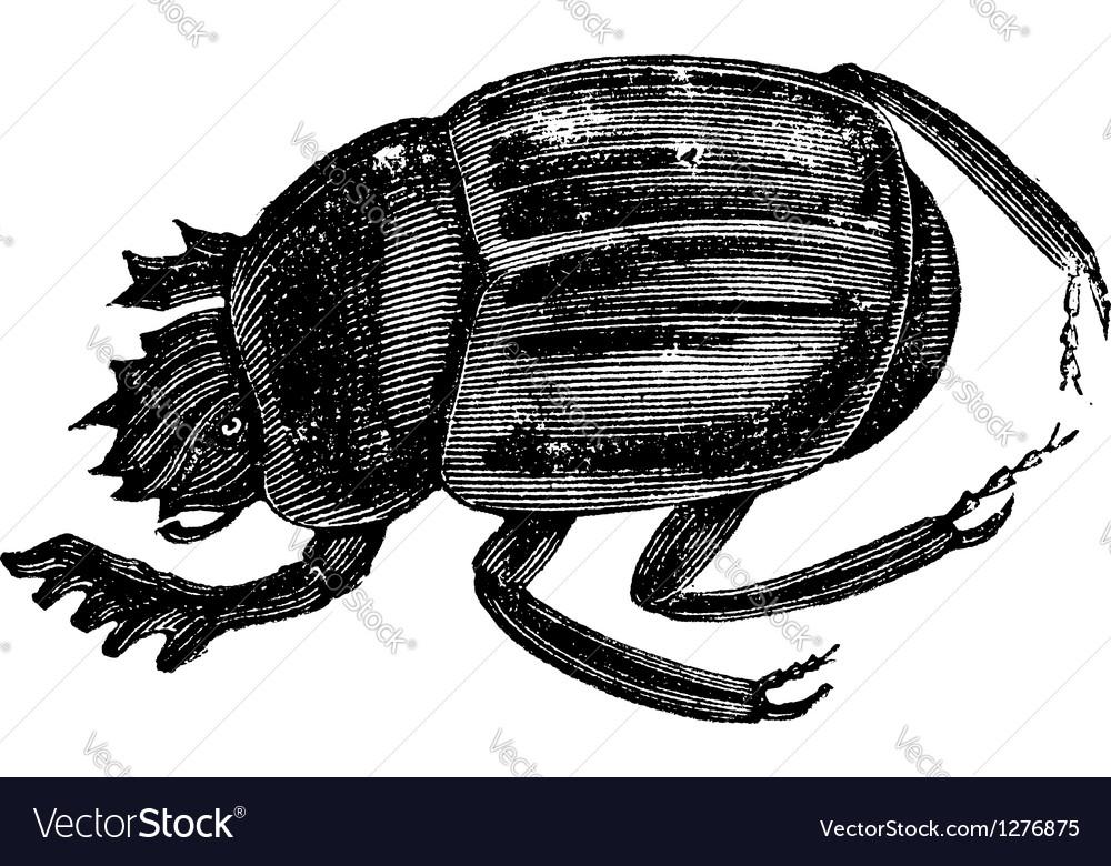 Scarab beetles vintage engraving vector | Price: 1 Credit (USD $1)