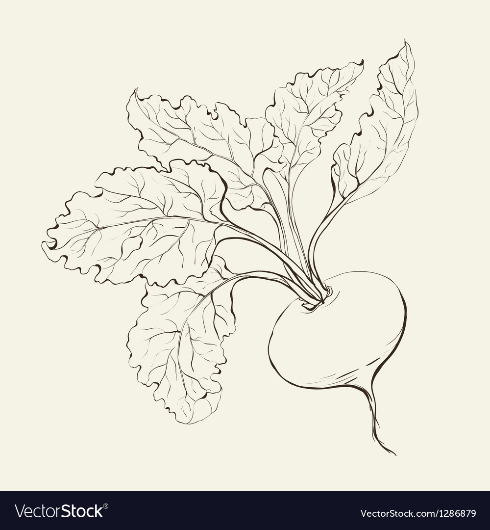 Beet root vector | Price: 1 Credit (USD $1)
