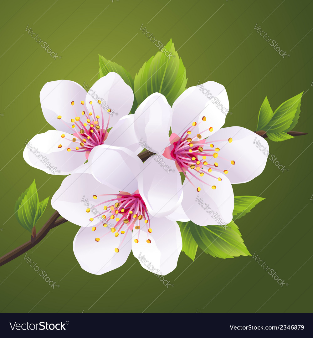 Blossoming branch of cherry tree sakura vector | Price: 1 Credit (USD $1)