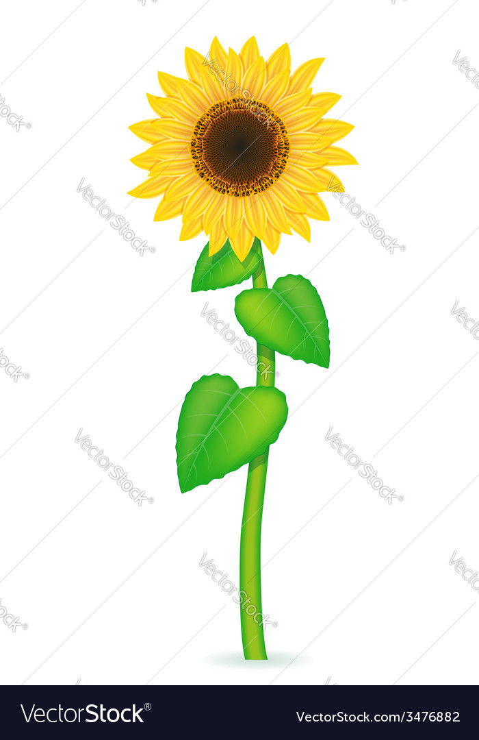 Sunflower 02 vector | Price: 1 Credit (USD $1)